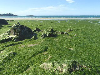 Stranded Green Seaweeds Overgrowth on Brittany Coast
