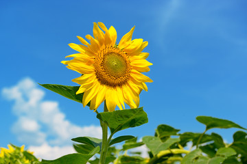 Wall Mural - Bright yellow sunflower flower on blue sky background.