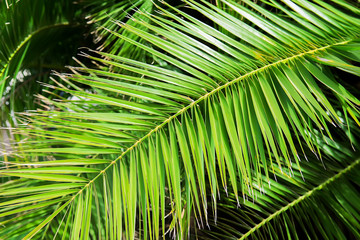 Date palm leaf background texture. Selective focus