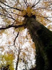 albero di faggio (Fagus sylvatica) visto dal basso