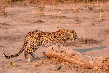 young leopard in chobe national park in botswana