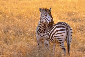 two zebras biring each others backs in hwange nature reserve zimbabwe