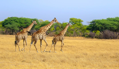 three giraffes on plain in hwange nature reserve zimbabwe