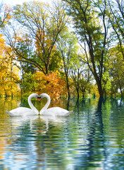 image of two white swans as a symbol of the heart
