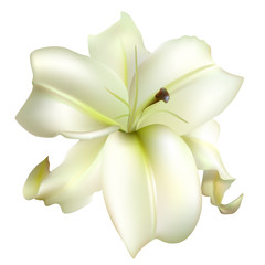 Lily. Floral background. White flower. Petals Isolated.