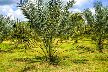 Barhi, Date palm tree in Thailand.