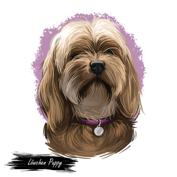 Lowchen puppy doggy petit chien lion digital art. French originated domesticated animal of small size. Toy and lap dog from France, canis lupus familiaris, watercolor portrait of pet wearing collar.