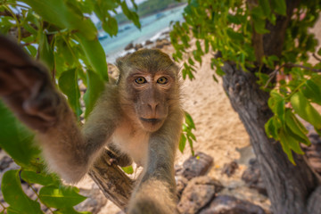 Poster de jardin Singe Curious monkey holds camera looking directly into the lens Crab-eating macaque Macaca fascicularis also known as long-tailed macaque