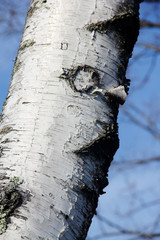 peeling bark of a birch tree in winter