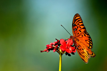 An orange, white and black gulf fritillary (Agraulis vanillae) butterfly perched on a red jatropha bloom with a soft green background.
