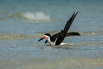 A black skimmer ( Rynchops niger) splashes and grroms in the Gulf of Mexico at Wiggins Pass, Florida.