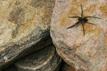 large dock spider on rock