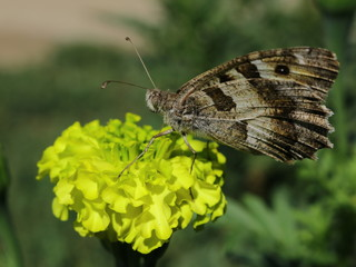 Brown butterfly sitting on a yellow flower
