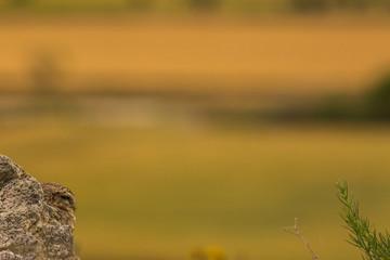 Little Owl in Montgai, Lleida, Spain