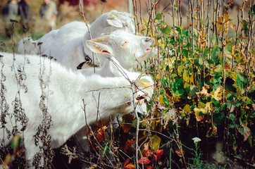 Three white milk goats eat green leaves from a bush.