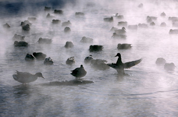 Wild ducks are seen on the Yenisei river near Krasnoyarsk