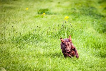 Hund tobt über die Wiese