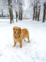 Golden Retriever im Winter
