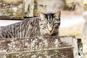 Fierce looking tabby striped cat with natural, bright green eyes looking directly at the view.