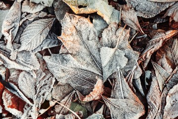 Autumn leaves morning frost macro nature cold