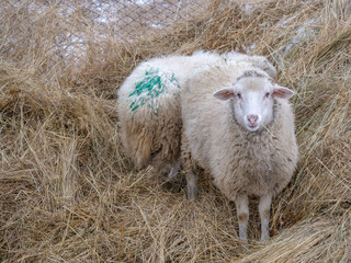 Domestic white sheep graze in the winter yard in the countryside. Nature in the village, snow
