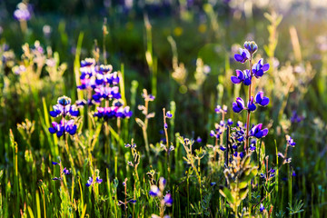 Lupine Sunrise in the Meadow