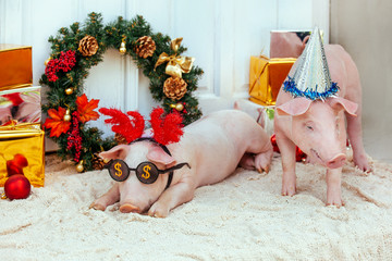 pig piglet little white background wicker cute breed new year happy grass two holiday caps red birthday party