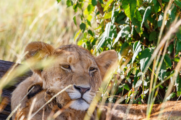 Lion cub resting in the shade