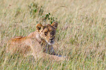 Relaxed Lioness in the grass at the savanna looking at camera