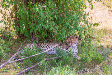 Relaxed Cheetah lying in the shade under a bush