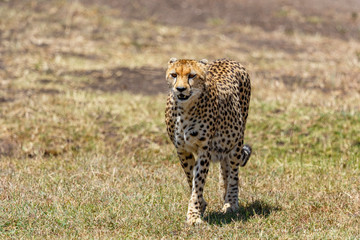 Cheetah coming against us