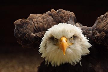 Bald Eagle Fototapete