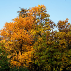 Colorful autumn crown of a tree against the blue sky. Bright yellow, red and green leaves. Great background for a theme about autumn