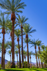Tall palm trees on green grass in the Coachella Valley in California.