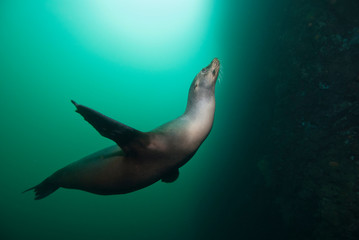Sea Lion in green water with sun in the background