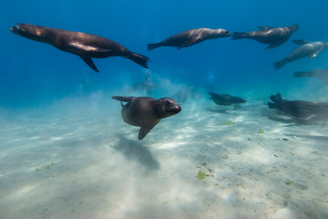 Sea Lions close to the sand in blue water