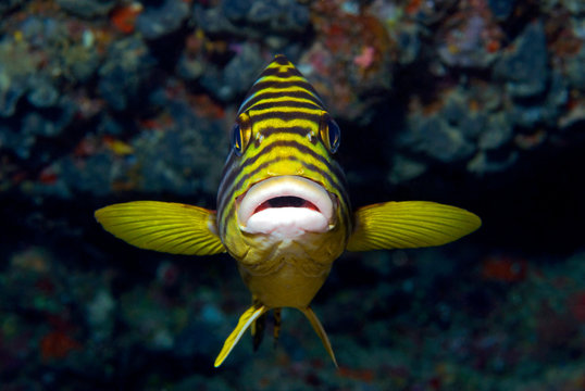 Oriental Sweetlips straight from the front