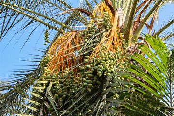 Date palm fruits ripen on the tree