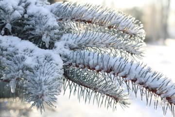 Frozen fir branches. Winter scene. Christmas decoration. White