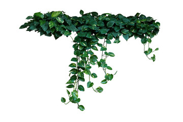 Wall Mural - Heart-shaped green variegated leaves of devil's ivy or golden pothos the tropical forest plant that become popular houseplant, hanging vines bush isolated on white background with clipping path.