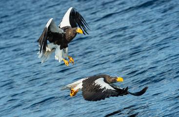 Adult Steller's sea eagles fishing. Scientific name: Haliaeetus pelagicus. Blue ocean background. Natural Habitat.