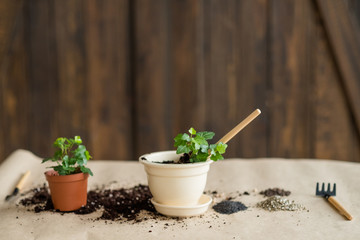 pots with green freshly planted flowers. gardening hobby and floriculture