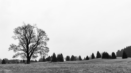 Alone black and white deciduous tree against the sky in a scenic landscape. Melancholy natural view. Autumn rural scenery with a bare treetop silhouette, meadow, field and conifers in the background.