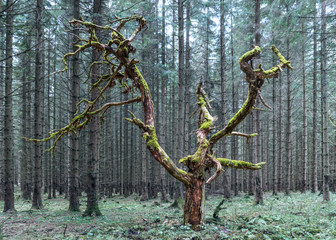 Old dead tree with green branches covered by moss. Beautiful natural artwork growing in a mysterious spruce forest. Monumental wood torso of dry treetop and trunk. Dark coniferous trees in background.