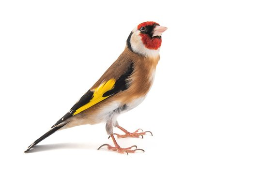 European Goldfinch, carduelis carduelis, standing, isolated on white background.