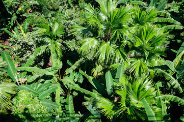 Top view of the green thickets of palm trees.