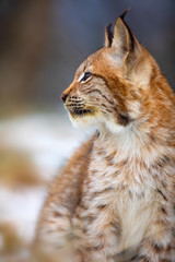 Focused eurasian lynx looking sideways in the forest at early winter
