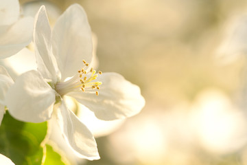 beautiful flower of apple blossoming in summer sunny garden
