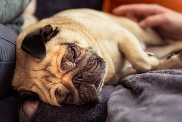 Close up face of Cute pug dog sleeping rest in sofa, couch