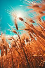 Wall Mural - Vertical shot of barley crops growing high up